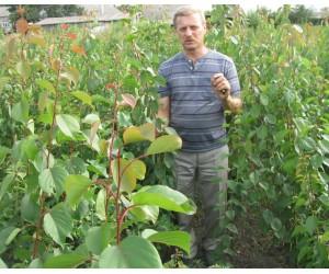 Проблемы, перспективы  и результаты акклиматизации абрикоса в средней полосе России и на Южном Урале