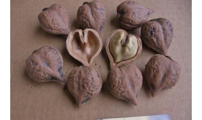 Грецкий орех Сердцевидный