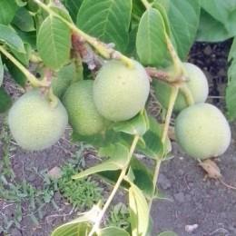 Грецкий орех «Кустовой Левина»