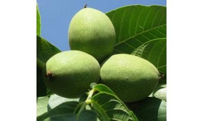 Грецкий орех «Битюг»