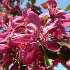 Яблоня декоративная Роялти