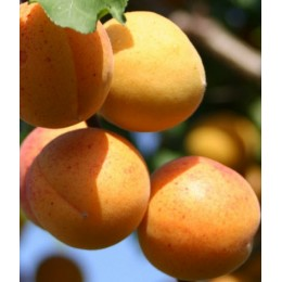абрикос Жигулёвский сувенир