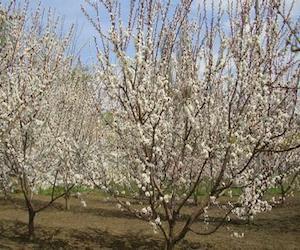 Гибридизация в повышении зимостойкости абрикоса