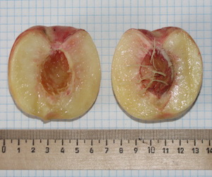 Проблемы и перспективы акклиматизации персика в Поволжье.