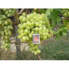 Виноград средне-ранний Новый Подарок Запорожью