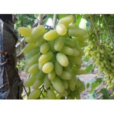 Виноград ранний Тимур