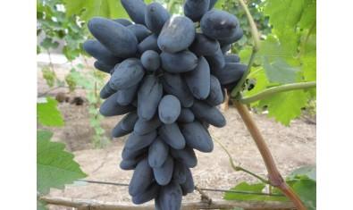 Виноград ранний Викинг