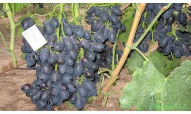 Виноград ранний Ришелье