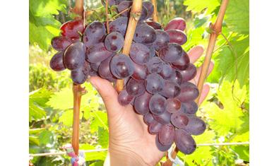 Виноград средне-спелый Марадона