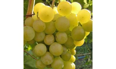 Виноград ранний Галбена ноу