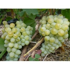 Виноград ранний Антоний Великий