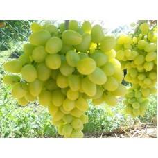 Виноград ранний Аркадия