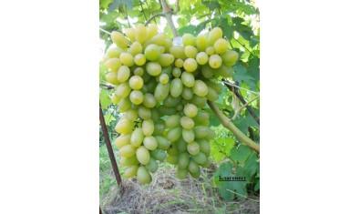 Виноград ранний Благовест