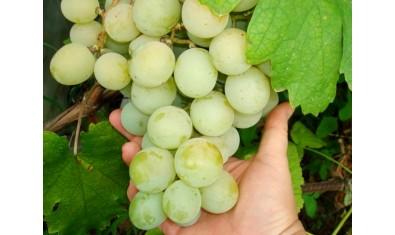 Виноград ранний Кеша-1