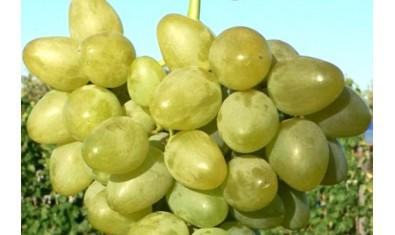 Виноград средне-ранний Монарх