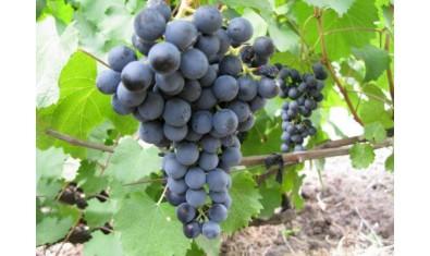Виноград средне-спелый Северный Плечистик (технический сорт)