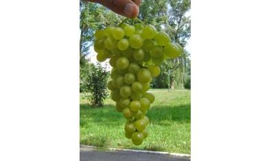 Виноград ранний Прим