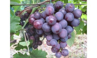 Виноград средне-ранний Рошфор
