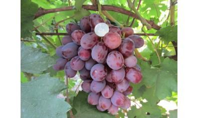 Виноград среднеспелый Граф Монте Кристо