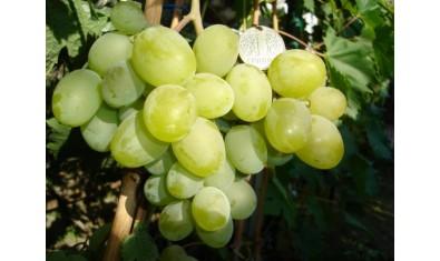 Виноград средне-ранний Подарок Запорожью