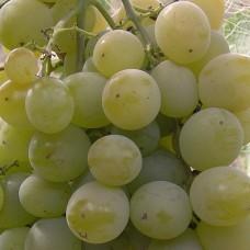 Виноград средне-ранний Светлана ( FVR – 7-9 )