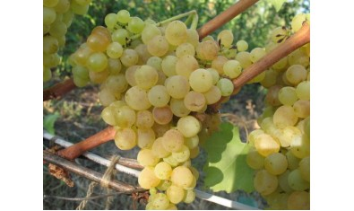 Виноград ранний Дружба