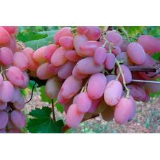 Виноград средне-спелый Водограй