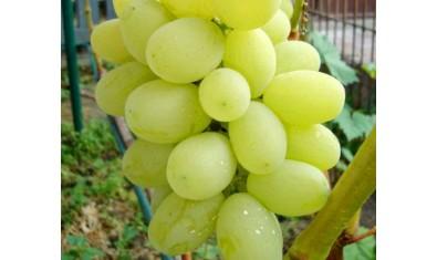 Виноград ранний Лора