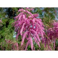 Тамарикс розовый