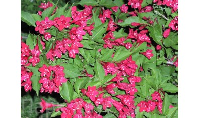 Вейгела пурпурная Ред Принц