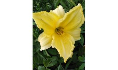 лилейник лимонный (1)
