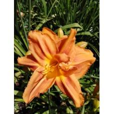 лилейник оранжевый махровый (7)