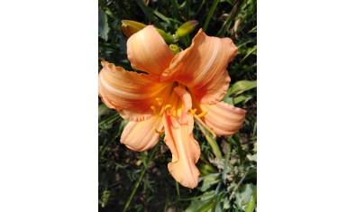 лилейник абрикосовый(6)