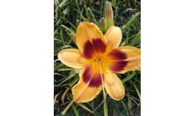 лилейник оранж. пандор (9)