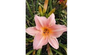 лилейник розовый (10)
