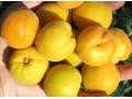 Колобок (Оригинал х Триумф северный). Вкусные плоды со средним весом около 50 г. Урожайность не ежегодная.