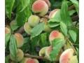 Саратовский ранний. Раннее созревание - начало или средина августа. Высокая урожайность. Вкусные крупные плоды - до 100 г.