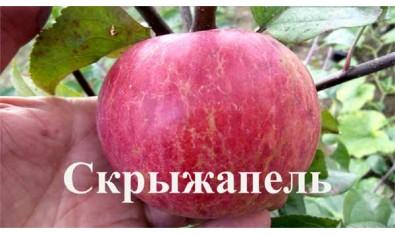 Яблоня зимн. Скрыжапель