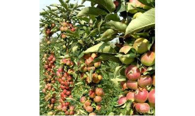 Яблоня колоновидная Приокское