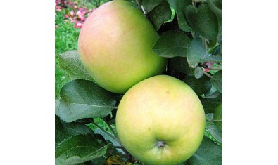 Яблоня колоновидная Натальюшка