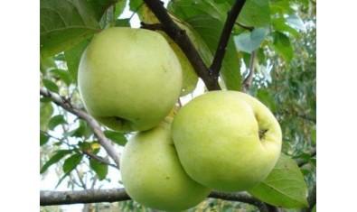 Яблоня зимн. Антоновка