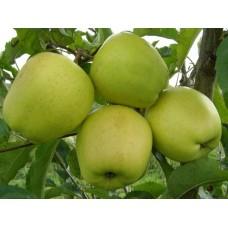 Яблоня зимн. Голден резистент