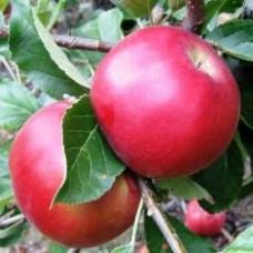 Яблоня зимняя Айдаред
