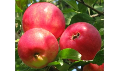 Яблоня летн. Мантет
