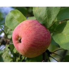 Яблоня летн. Мельба
