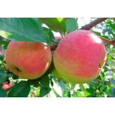 Яблоня летн. Конфетное