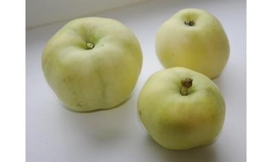 Яблоня летн.  Белый налив