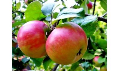 Яблоня осенн. Жигулёвское