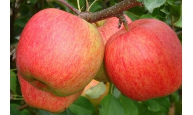 Яблоня зимн. Лигол