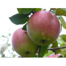 Яблоня зимн. Апрельское